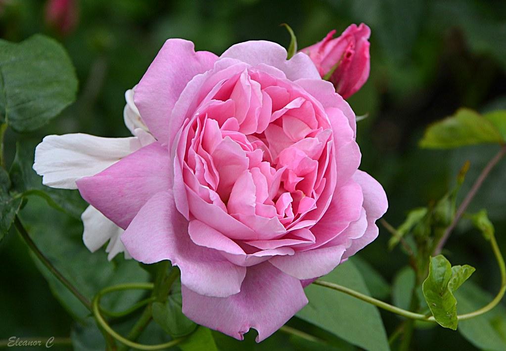 Weekend Rose