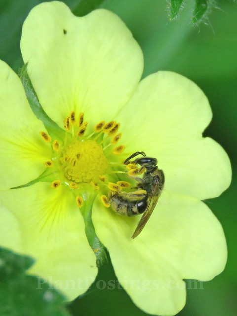 bee on potentilla