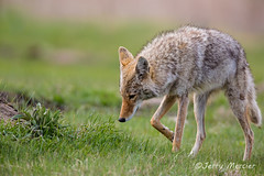 _VM_2852 - Coyote hunting for prairie dogs.