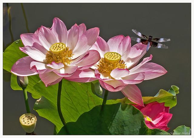 Widow Skimmer (m)Dragonfly On Lotus
