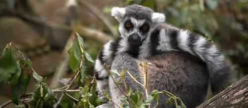 newzealand christchurch willowbankwildlifepark ringtailedlemur lemur leaves
