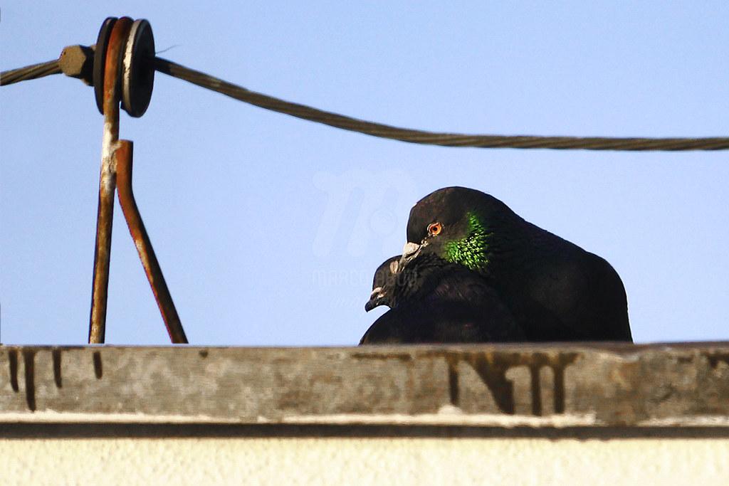 Valentine's Day - Pombo-Doméstico | Rock Pigeon | Columba livia