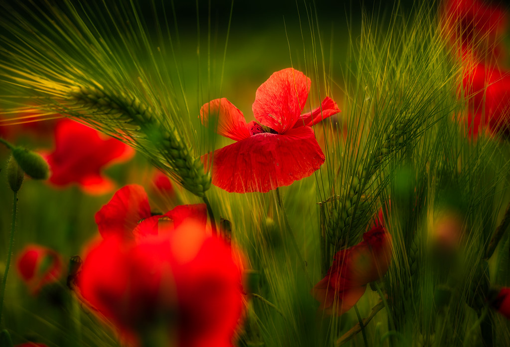 Poppies on the wheat