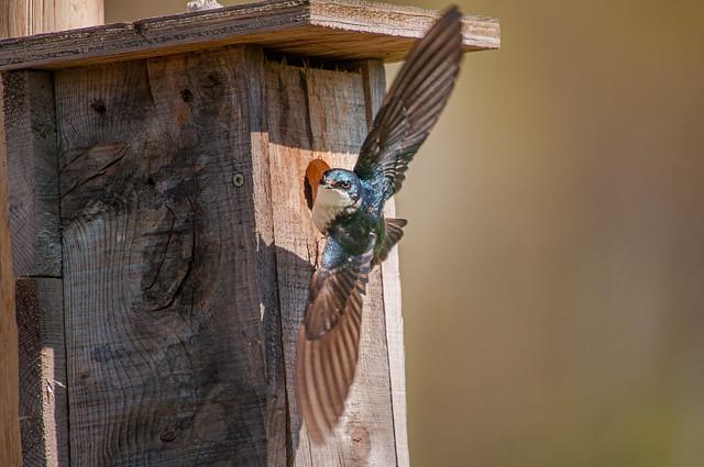 hirondelle bicolore, tree swallow