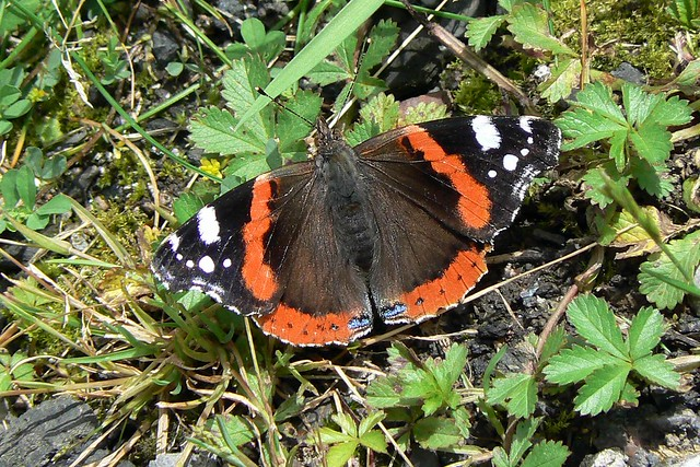 Red Admiral butterfly catching the sun