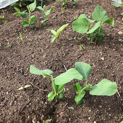 枝豆が2、3本ずつ生えそろったので2本ずつに間引きしました