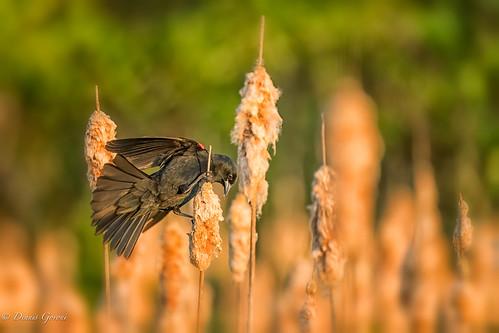 virginia virginiaarboretum action bird redwingedblackbird spring sunrise wildlife
