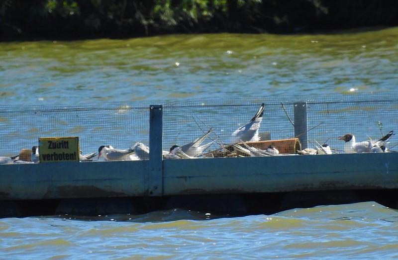 2-flussseeschwalben-floß-rottauensee-nadia-baumgart