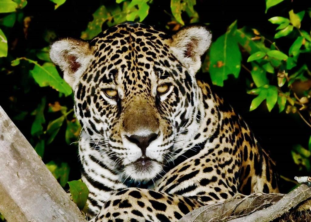 Marley (M) Jaguar (Panthera onca) on the Riverbank