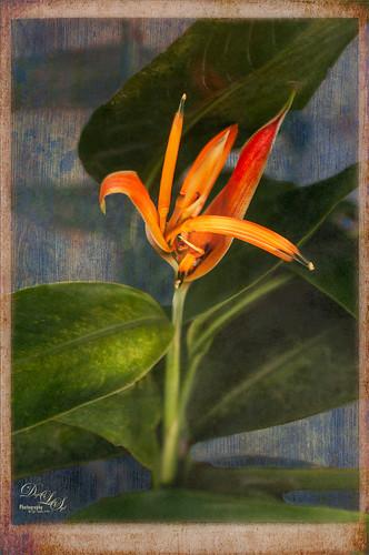 Image of an orange Bird of Paradise plant