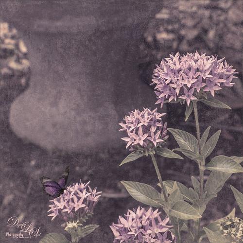 Image of Pink Pentas in my Yard