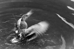 Flapping Duck