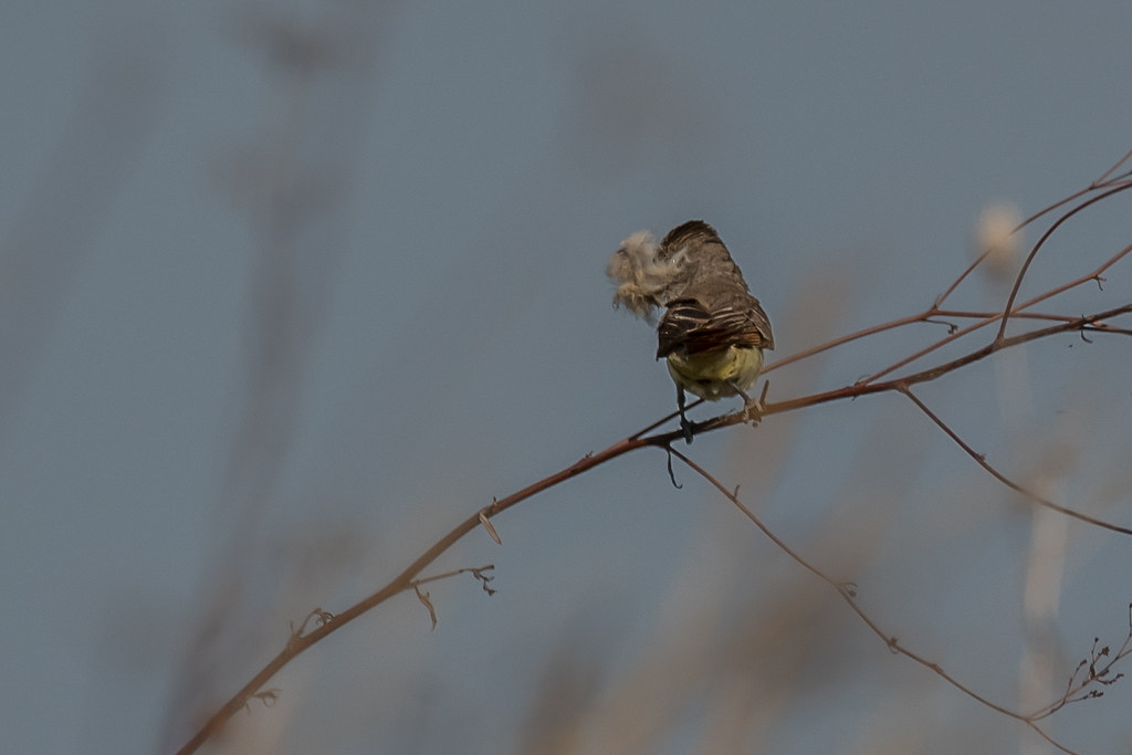 Unknown flycatcher w-nesting material (1 of 2)