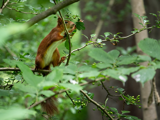 Squirrel (in-Explore-2020-06-14)