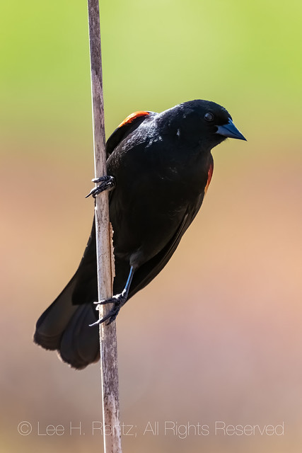 Red-winged Blackbird in Michigan