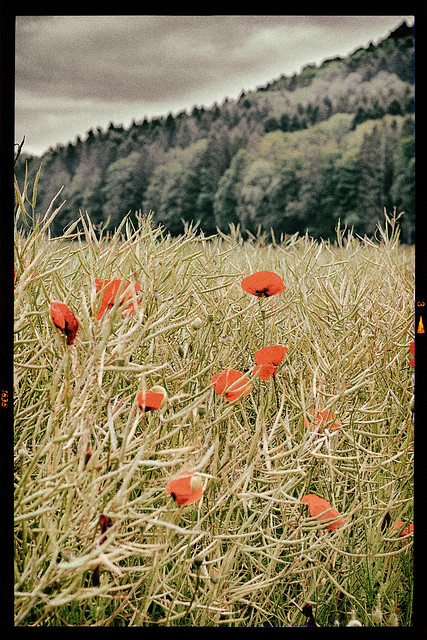 Rape and Poppies