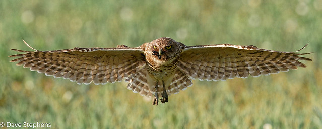 Female Burrowing Owl Brings Bug To Her Nest