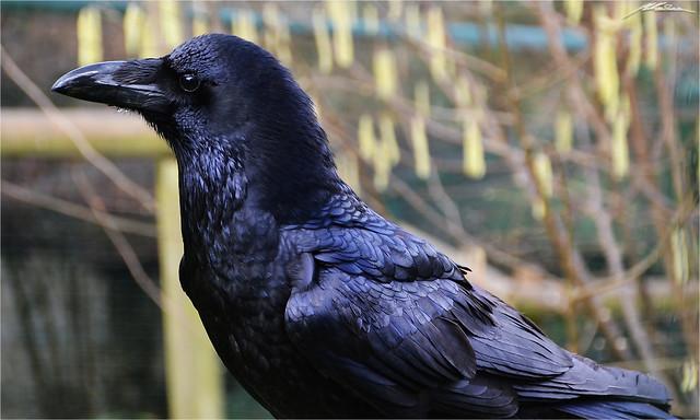 Raven - Corvus Corax (4)