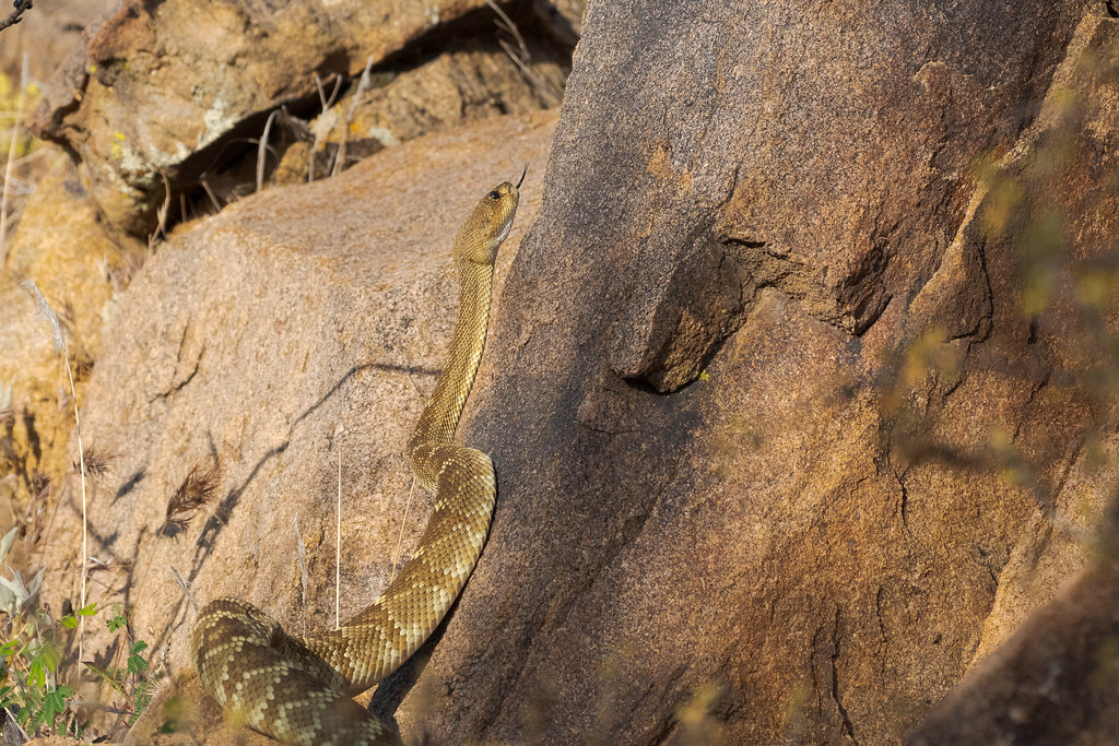 TA black-tailed rattlesnake flicks out its tongue as it climbs a rock near Granite Mountain in McDowell Sonoran Preserve in Scottsdale, Arizona in May 2020