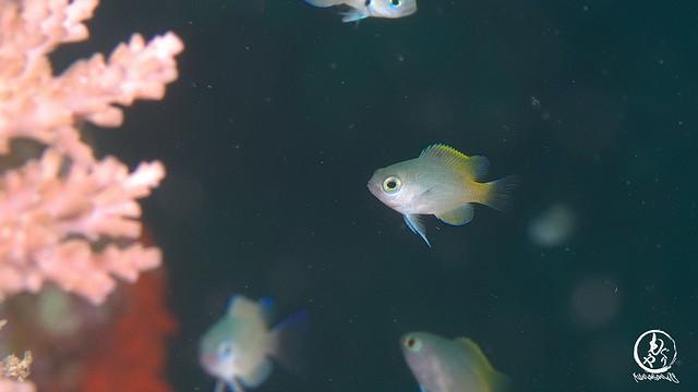 背ビレのグラデーションがキレイだったアサドスズメダイ幼魚ちゃん♪