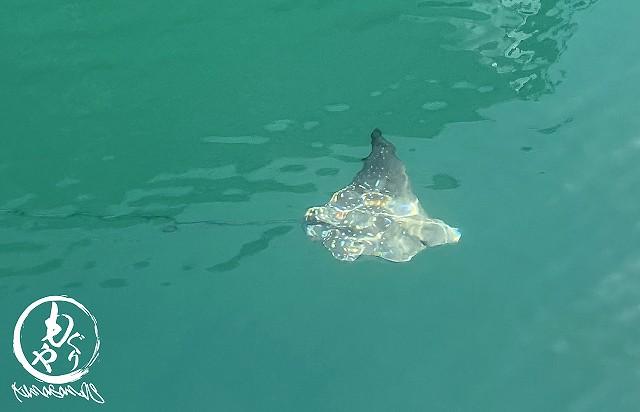 グレベアの港にはよくマダラトビエイ、ロウニンアジなどが現れます!!石垣の海ってすごいなぁ~大きくなぁれ☆