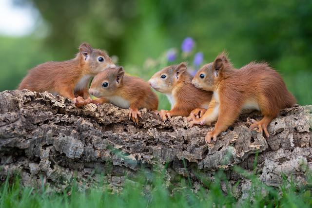 Squirrel parade