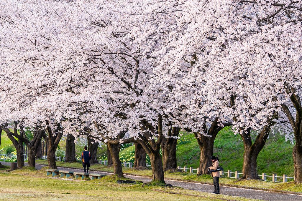 今宮公園 長岡市の桜スポット