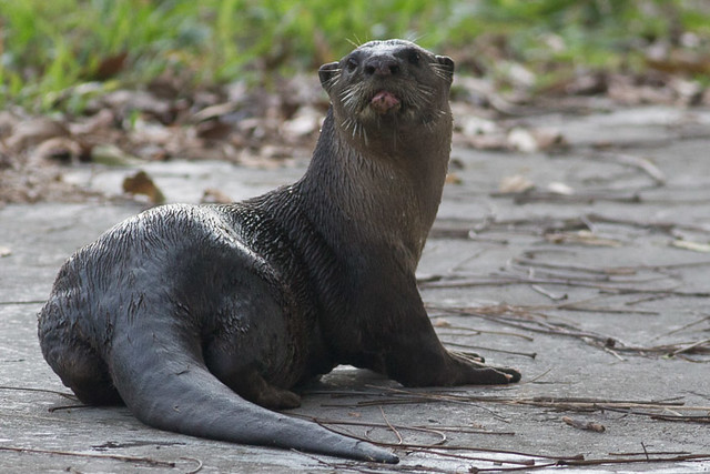 Smooth-coated Otter