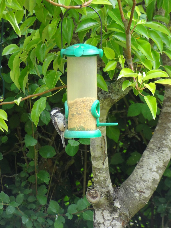 Coal tit on the bird feeder