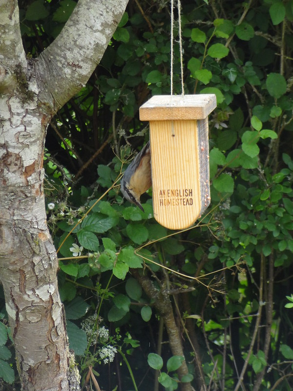 Nuthatch on the bird feeder