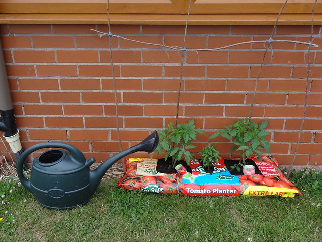 Tomatoes and chillies, relocated and staked
