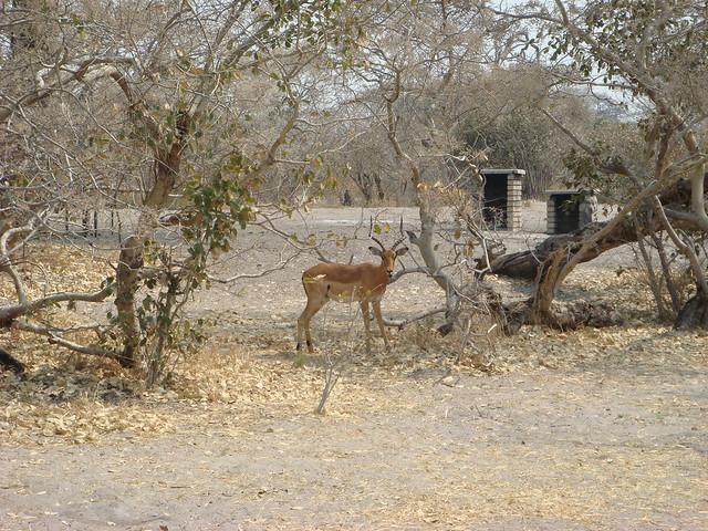 Botswana_Savuti_visite_nel_campeggio_3