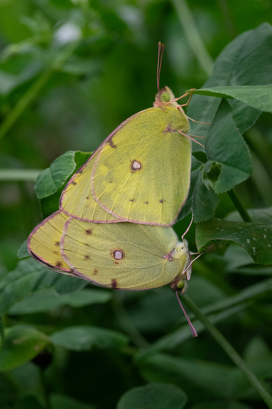 Mating of Colias erate