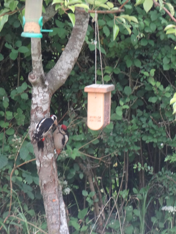 Greater spotted woodpeckers on the pear tree