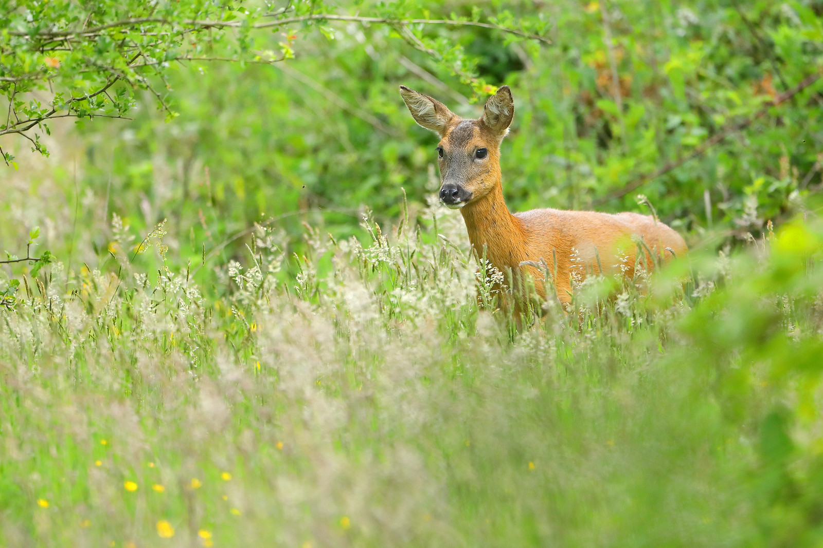 Roe deer in summer meadow