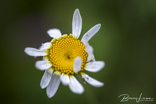 Worn-out Daisy