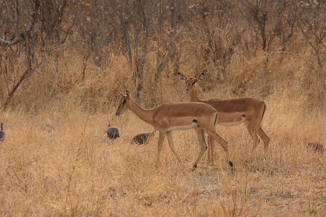 Botswana_Savuti_Kudu