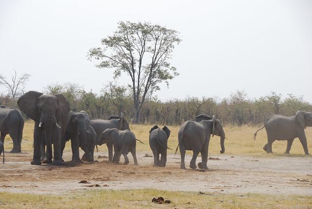 Botswana_Savuti_elefanti