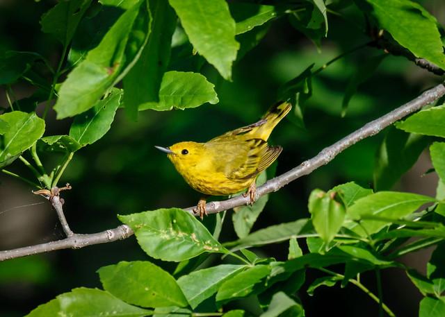 Yellow Warbler - 7122
