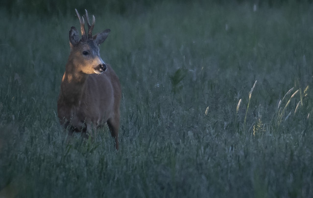 The first rays of sun. Roe deer