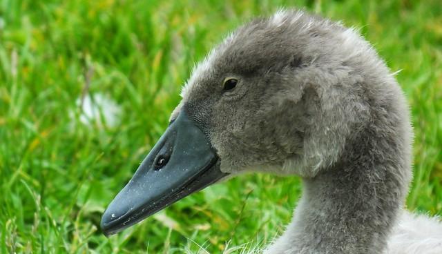 Swan Family 081