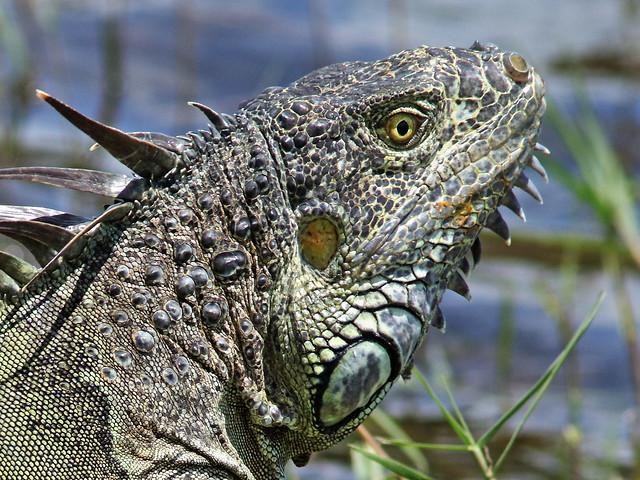 Green Iguana 02-20200612