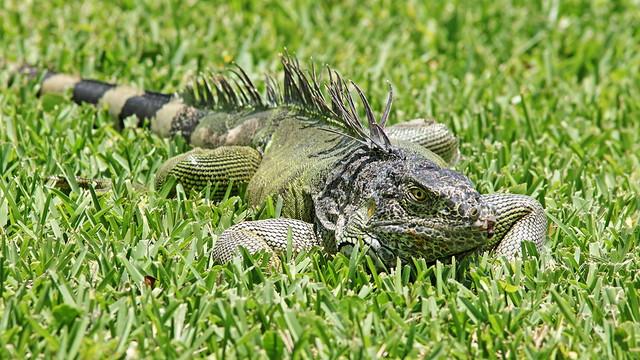 Green Iguana 03-20200612