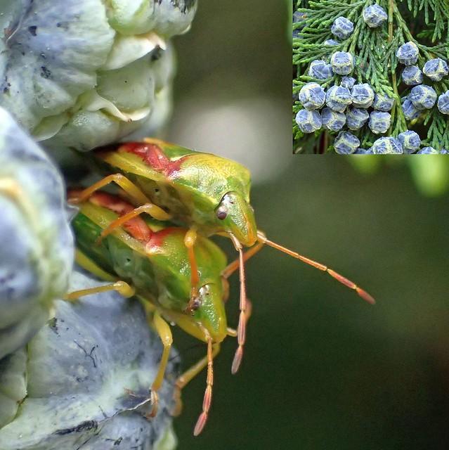 Green Intimacy. Juniper Shield Bugs, Cyphostethus tristriatus, on Chamaecyparis lawsonia, Lawson's Cypress, Hortus Botanicus, Amsterdam, The Netherlands
