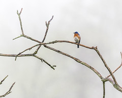 Bluebird in the Morning Fog