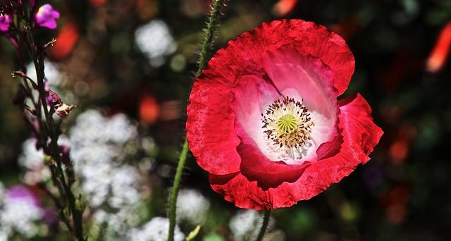 Red & Pink Poppy