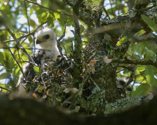 Broad-winged Hawk Nestlings - 2 - 2