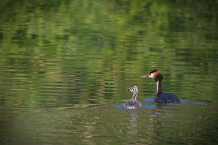 Grebe and young | by _Ard_