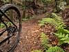 leśna ścieżka w paprociach