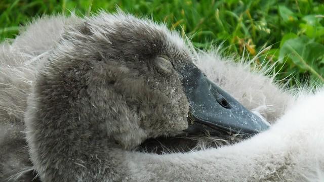 Swan Family 080